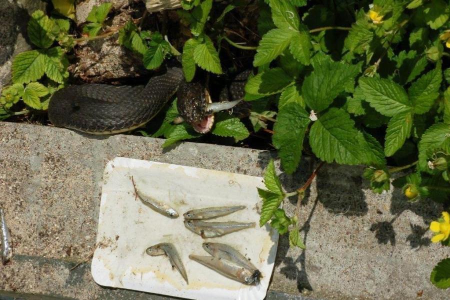 Largest N.sipedon female eating smelt.