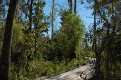 Habitat of T.p.orarius in Louisiana (October 2013); flooded forest.