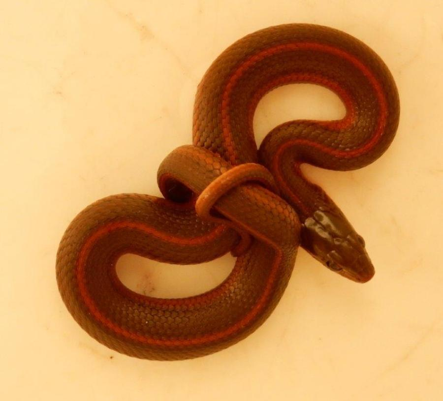 T.m.canescens, captive bred at the age of 2 month born in November 2015