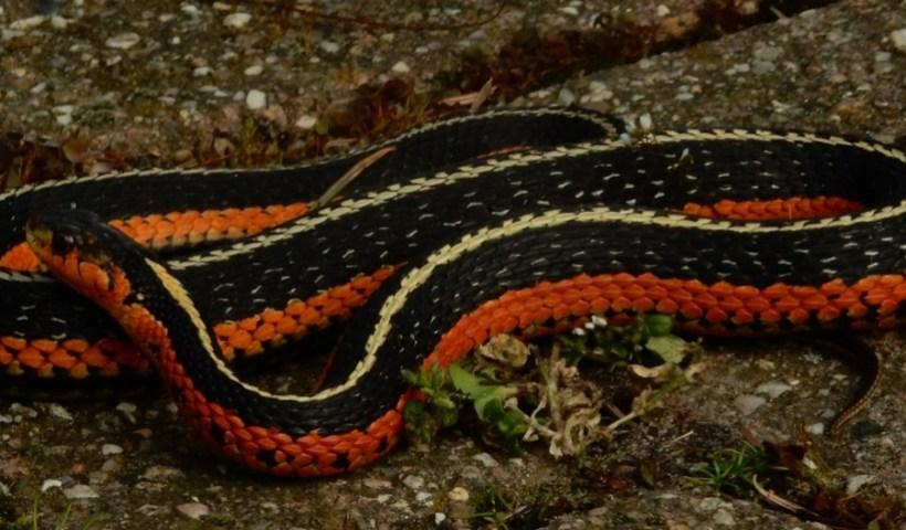 Thamnophis sirtalis sirtalis (flame)