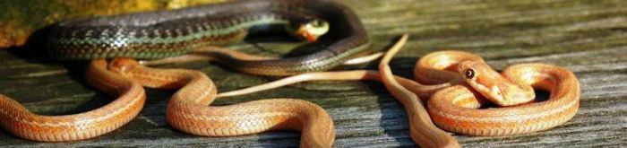 Thamnophis eques obscurus (albino) - Lake Chapala Mexican Garter Snake (albino)