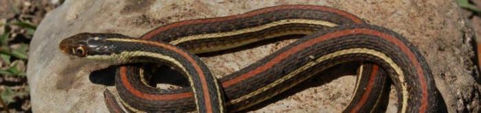 Thamnophis proximus rubrilineatus - Redstripe Ribbon Snake