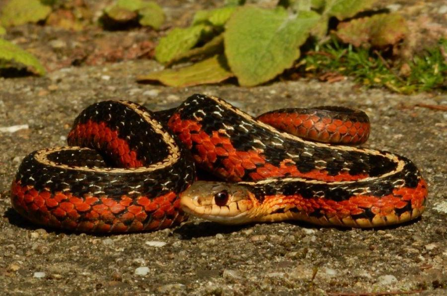 """""""Flame"""" morph of the Eastern Garter Snake (Thamnophis sirtalis sirtalis) from Quebec, Canada."""