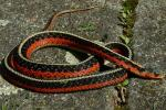"Male, ""flame"" morph of the Eastern Garter Snake (Thamnophis sirtalis sirtalis) from Quebec, Canada."