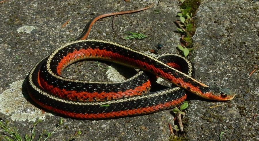 """Male, """"flame"""" morph of the Eastern Garter Snake (Thamnophis sirtalis sirtalis) from Quebec, Canada."""