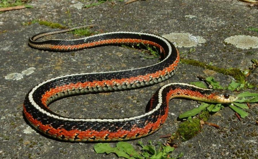 """Female,, """"flame"""" morph of the Eastern Garter Snake (Thamnophis sirtalis sirtalis) from Quebec, Canada."""