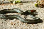 California Redsided Garter Snake baby