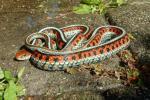 California Redsided Garter Snake mother