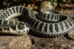 Thamnophis scalaris cb 2020, 3 weeks old