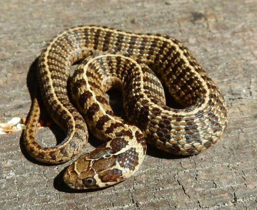 Thamnophis scaliger, babies born in 2020