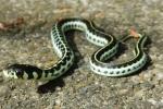 Yellow-throated Garter Snake (Thamnophis pulchrilatus)