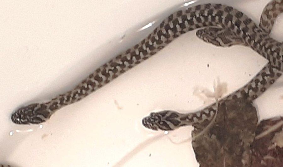 "A newborn litter of Natrix maura (Viperine Water Snakes) ""waking up"" after a short 7 week hibernation in the fridge."