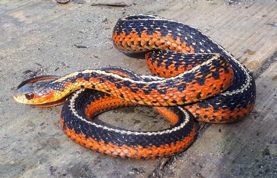 Flame Eastern Garter Snakes (Thamnophis sirtalis sirtalis)