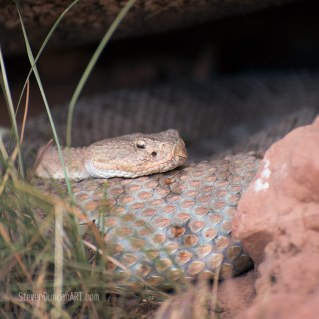 arizona diamond rattlesnake
