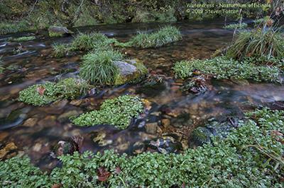 Watercress, Water Cress, Nasturtium officinale, Rorippa nasturtium-aquaticum