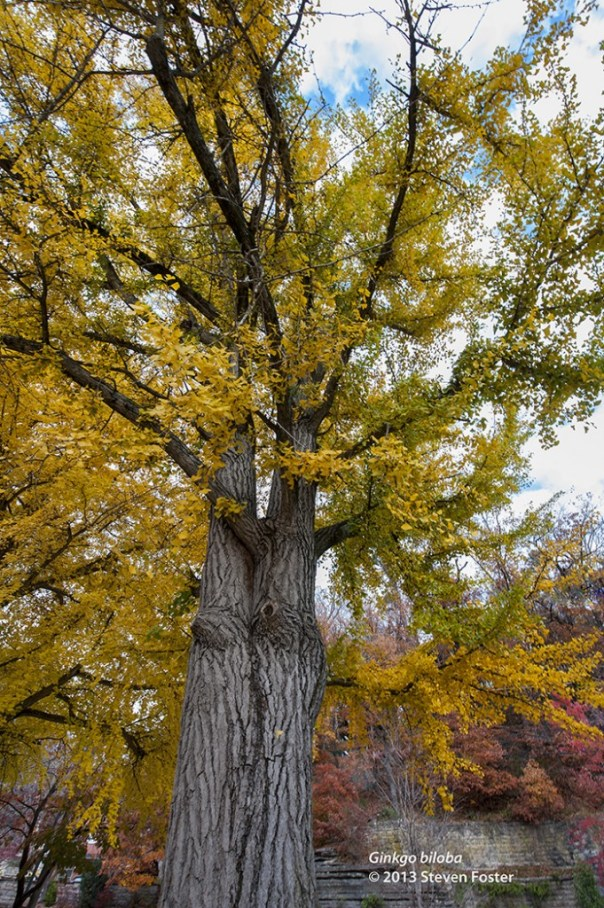 Ginkgo tree with golden leaves on 11 November 2013