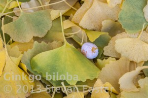 Ginkgo tree, Ginkgo leaf, Golden autumn Ginkgo leaves