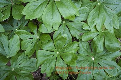 Mayapple; American Mandrake; Podophyllum peltatum