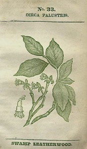 Leatherwood plate from Rafinesque, C.S. 1828-1830. Medical Flora: or, Manual of the Medical Botany of the United States of North America. 2. vols. Philadelphia: Atkinson & Alexander