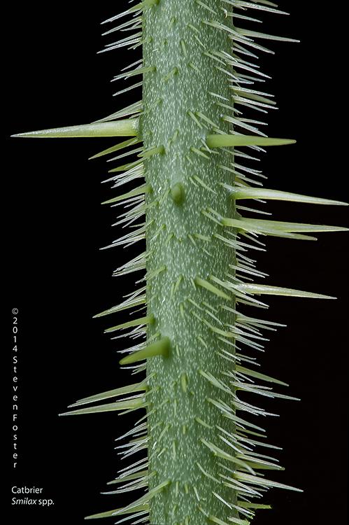 Smilax hispida, a well-armed vine.