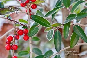 Yaupon Holly, Black Drink, Ilex vomitoria