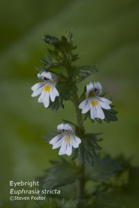 Eupharia strica, Eyebright