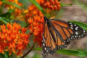 Butterfly weed with Monarch Butterfly