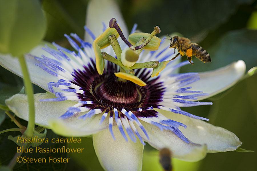 Passionflower herb n food steven fosters herbalblog mightylinksfo