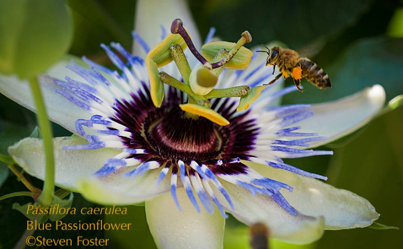 Passionflower – Herb n' Food
