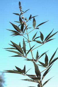 Vitex, Vitex agnus-castus, chaste tree, chastetree, chasteberry, chaste berry, monk's pepper