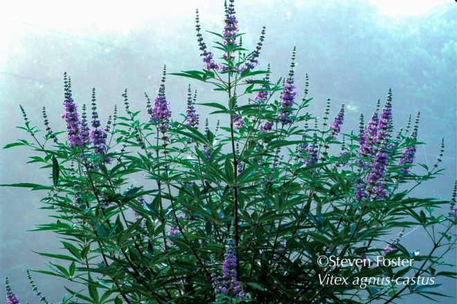 Chasteberry, like the rest of the 250 species of Vitex, long-placed in the verbena family (Verbenaceae) now in a genetic surprise twist are placed in the mint family (Lamiaceae). In medieval Europe chasteberry was a symbol of chastity. Branches were strewn at the feet of novices as they entered a monastery or convent. Research has focused on the use of seed extracts for regulating excessive menstrual bleeding or too frequent menstruation.