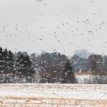 Gulls over snowy fields - Steven Kennard 2013