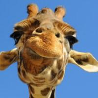 Tesco buys Giraffe