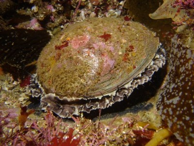 Protected green abalone (Haliotis fulgens) in California's Channel Islands