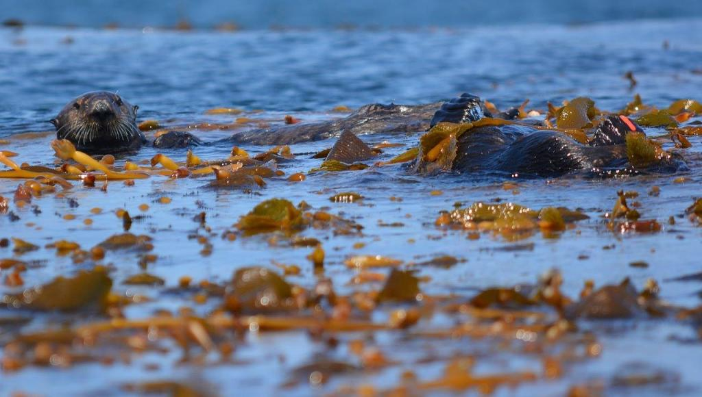 Sea otters engaged in mating ritual in kelp beds off Lovers Cove, Pacific Grove, California