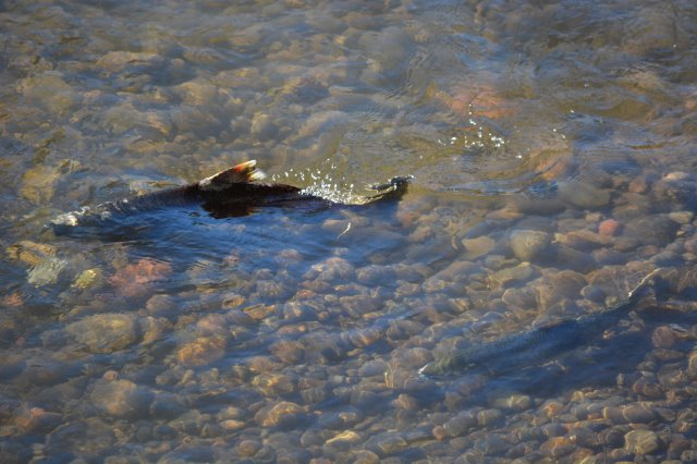 Pair of spawning Chinook salmon, Battle Creek Wildlife Area