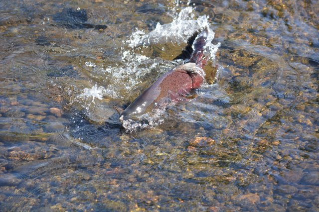 Spawning male Chinook salmon
