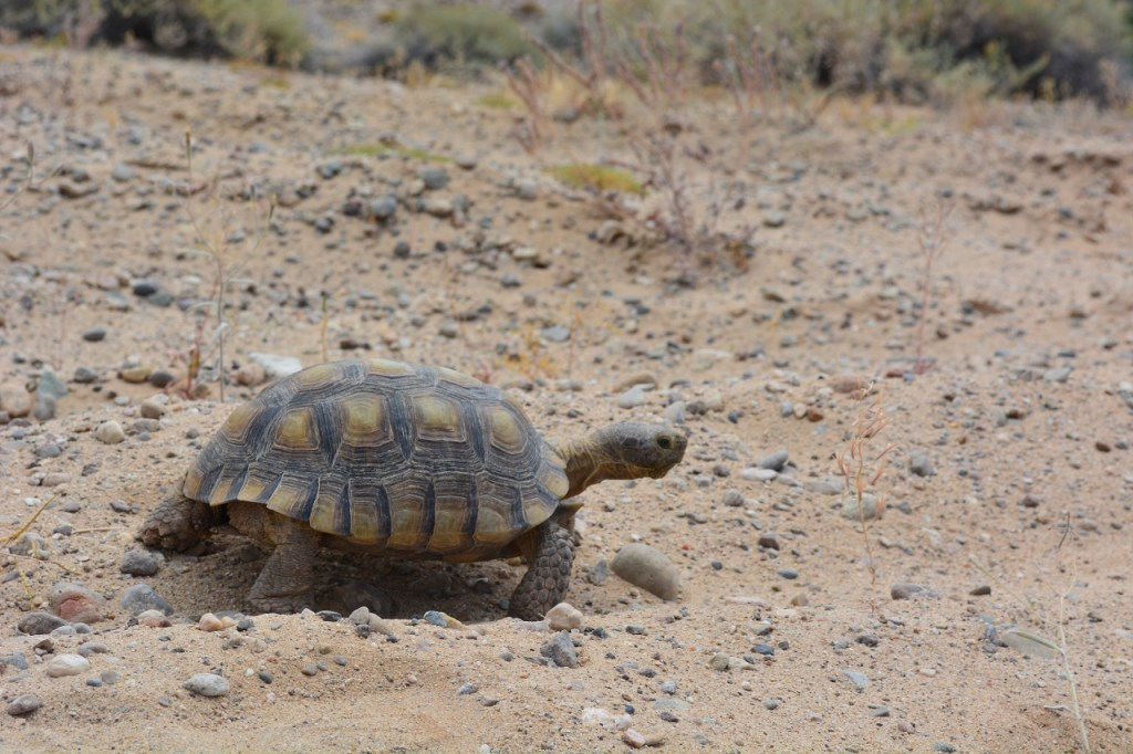 Desert tortoises, which are fully protected in California, may still be encountered in Joshua Tree National Park.