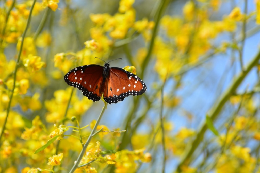 Queen butterflies take advantage of the spring wildflower display at Joshua Tree National Park.
