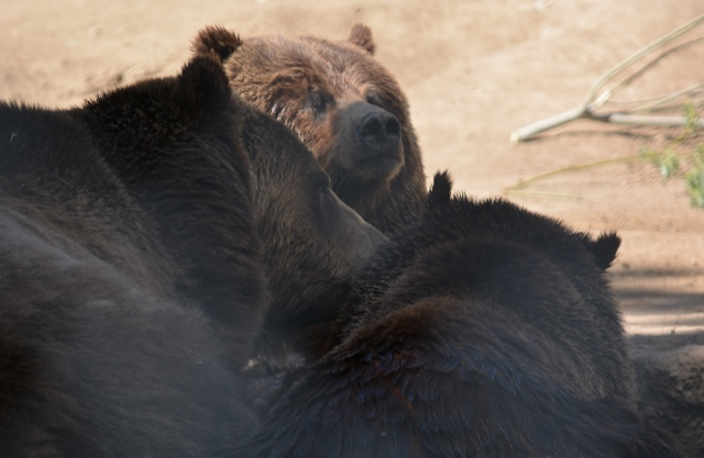 Big Bear Alpine Zoo's famous grizzly bear family: Tutu, Harley, and Ayla