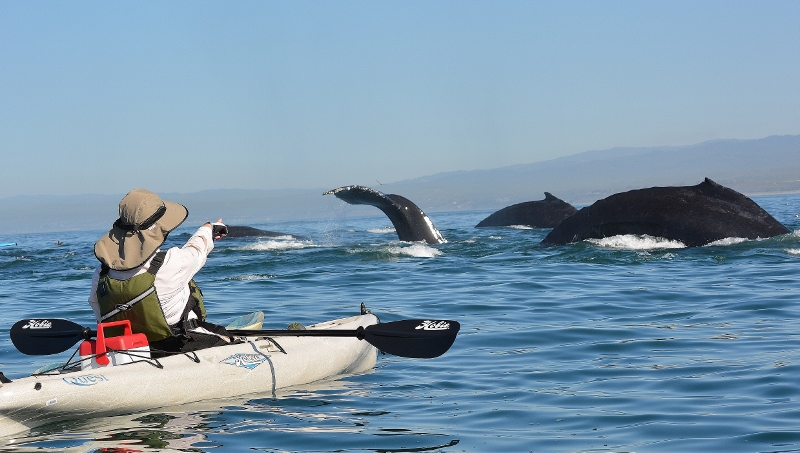 Kathy pointing at a pod of passing humpbacks in Monterey Bay out of Moss Landing. Photo by Steven T. Callan