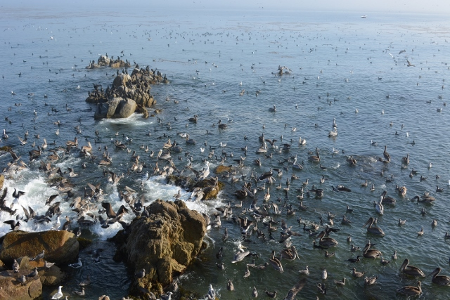 A seabird feeding frenzy at Lovers Point in Pacific Grove, California. Photo by Steven T. Callan