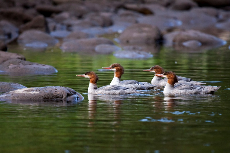 Mergansers on the Middle Fork American River. Photo by Gary Hughes.