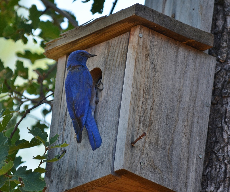 Bluebirds, tree swallows, flycatchers, nuthatches, and other cavity-nesting birds lay claim to the many nest boxes we've strategically placed around the island. Photo by Kathy Callan.