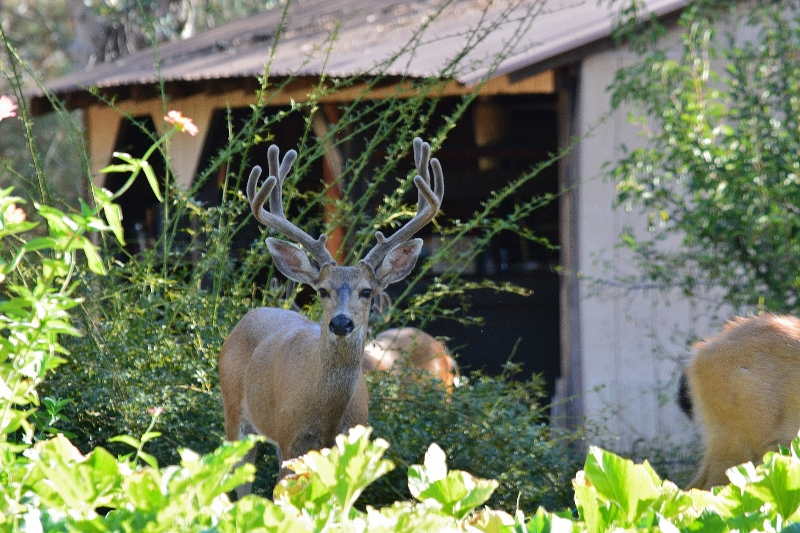 Deer are regular visitors, especially during hot summers when food and water are scarce. We never artificially feed deer but allow them to glean a few tomatoes at the end of the growing season. Several fawns have been born on the island over the years. Photo by author.
