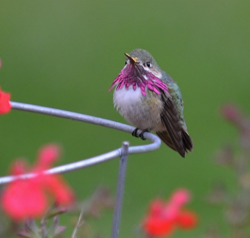 Every spring we receive an extra special visit from a handful of calliope hummingbirds. Calliopes are the smallest of all hummingbirds normally found in the U.S. Photo by Steven T. Callan.