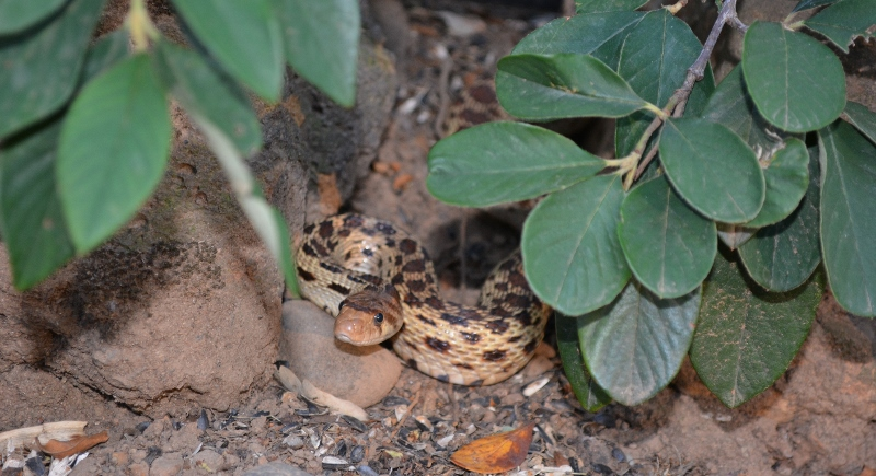 Reptiles, like this beautiful gopher snake, are always welcome in our gardens. Photo by Steven T. Callan.