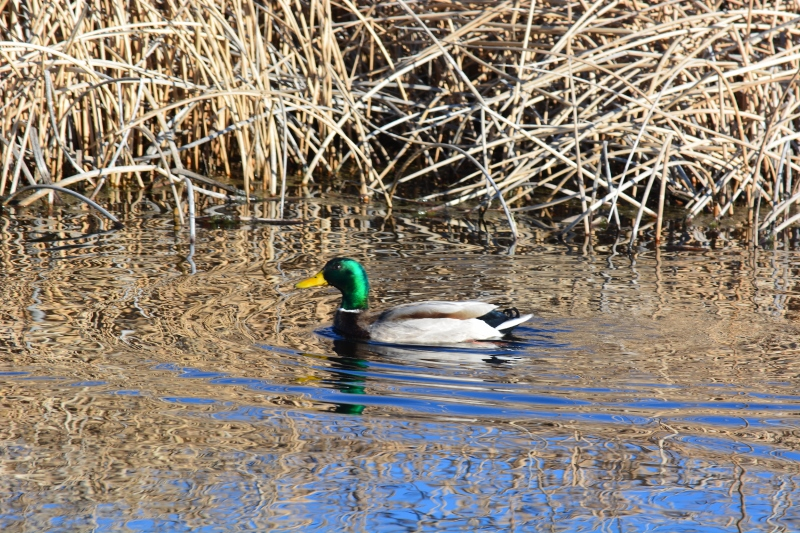 The drake mallard, with its iridescent green head. Photo by Steven T. Callan.