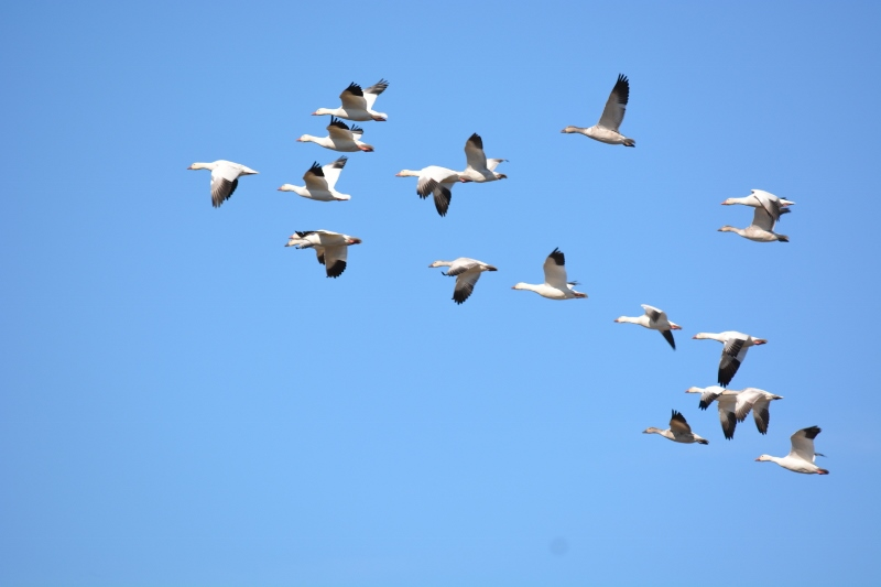 As a boy growing up in Orland, I would often hear the snow geese pass over our house in the fall as they made their way south. Photo by Steven T. Callan.