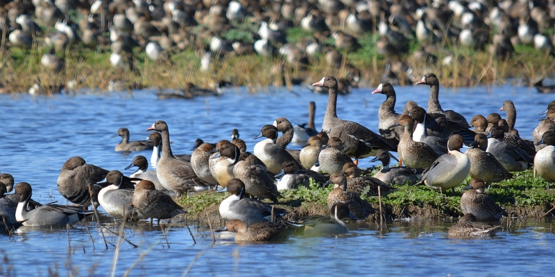 Pintails mingle with white-fronted geese at the Sacramento National Wildlife Refuge. Photo by Steven T. Callan.
